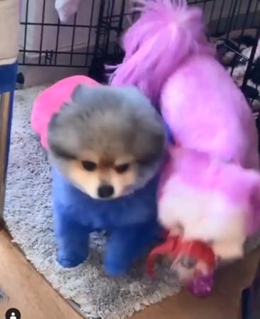 曾養死過寵物!性感女星又把狗狗染成「藍色粉色」 網洗版怒標動保團體